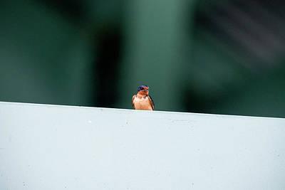 Photograph - Barn Swallow Perch On Bridge Strut by Dan Friend