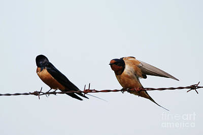 Photograph - Barn Swallows by Alyce Taylor