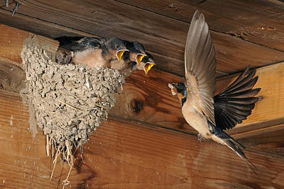 Feeding Bird Photograph - Barn Swallows At Nest by Scott  Linstead