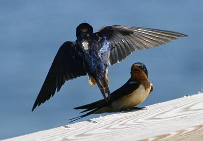 Photograph - Barn Swallows by Christopher Kirby