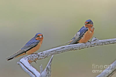 Photograph - Barn Swallows by Gary Wing