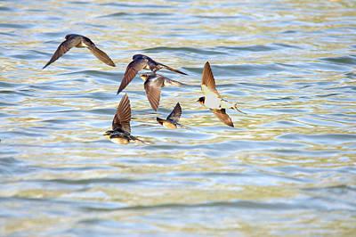 Barn Swallows In Flight Art Print by Roy Williams