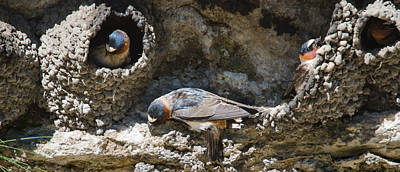 Photograph - Barn Swallows Nests by Crystal Wightman