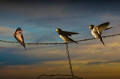 Barn Swallows On Barbwire Fence Print by Randall Nyhof