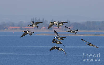 Barnacle Geese, Denmark Art Print by Steen Drozd Lund