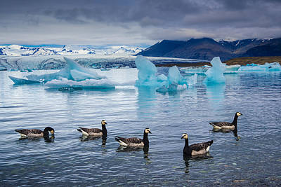 Photograph - Barnacle Geese In Glacier Lagoon In Iceland by Matthias Hauser