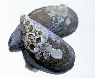 Photograph - Barnicles And Shells by Mary Haber