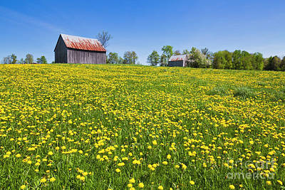 Photograph - Barns And Dandelions by Alan L Graham