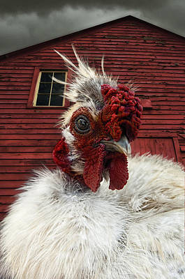 Barnyard Boss - Rooster With Attitude And Big Red Barn Art Print by Mitch Spence