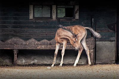 Photograph - Barnyard Horse Foal In West Michigan by Randall Nyhof