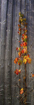 Photograph - Barnyard Vine by Tim Kathka