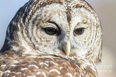 Photograph - Barred Owl 1 by Chris Scroggins