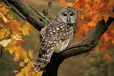 Barred Owl 10 Art Print