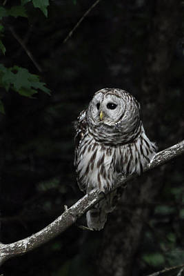 Print featuring the photograph Barred Owl 2 by Glenn Gordon