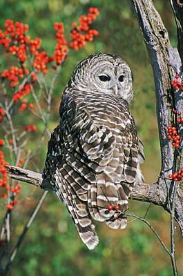 Barred Owl 2 Art Print