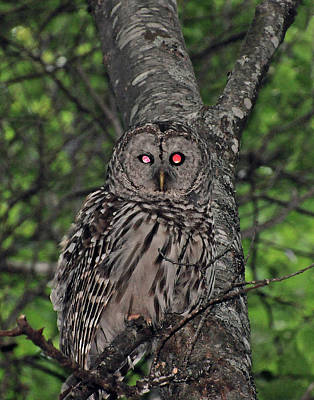 Print featuring the photograph Barred Owl 3 by Glenn Gordon