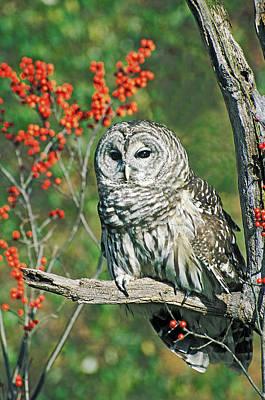 Barred Owl 4 Art Print