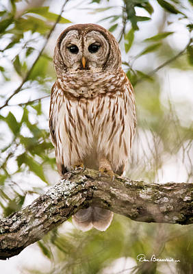 Dan Beauvais Royalty-Free and Rights-Managed Images - Barred Owl 6819 by Dan Beauvais