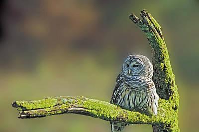 Barred Owl 7 Art Print