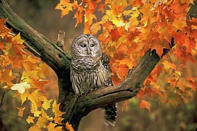 Barred Owl 9 Art Print