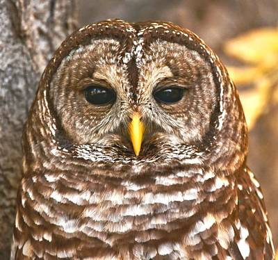 Barred Owl Art Print by Amy McDaniel