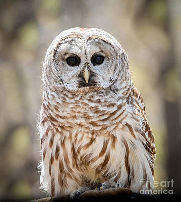 Photograph - Barred Owl by Amy Porter