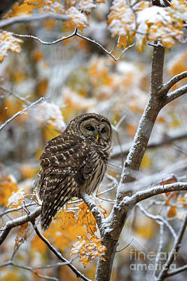 Photograph - Barred Owl by Anthony Heflin