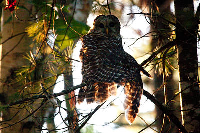 Photograph - Barred Owl At Sunrise by Brent L Ander