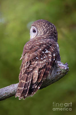 Photograph - Barred Owl Back View by Sharon McConnell