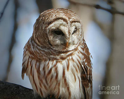 Photograph - Barred Owl Beauty by Anita Oakley