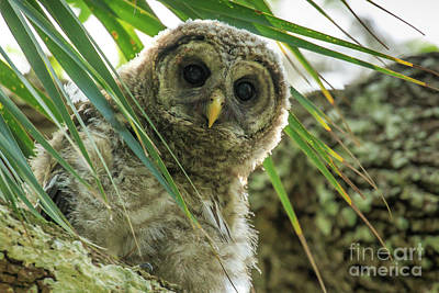Photograph - Barred Owl by Ben Graham