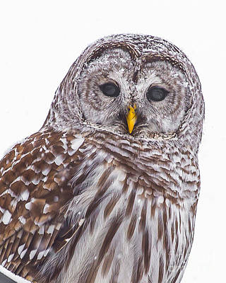Photograph - Barred Owl by Benjamin Williamson