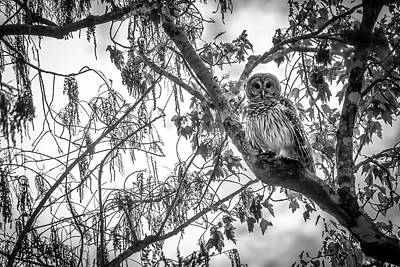 Photograph - Barred Owl by Bill Martin