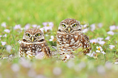 Photograph - Barred Owl Buddies by Alan Lenk