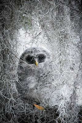 Photograph - Barred Owl Camo by David Beebe