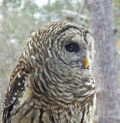 Photograph - Barred Owl Chattahoochie Nature Center Roswell Ga by Lizi Beard-Ward