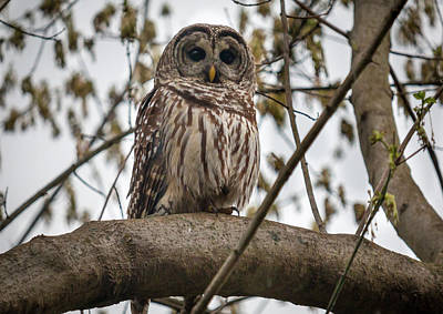Photograph - Barred Owl by Chris Berrier