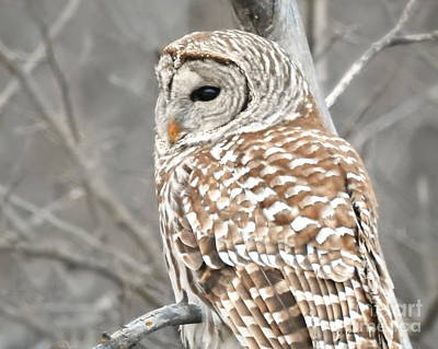 Photograph - Barred Owl Close-up by Kathy M Krause