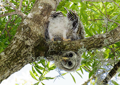 Print featuring the photograph Barred Owlet Contortionist by Phil Stone