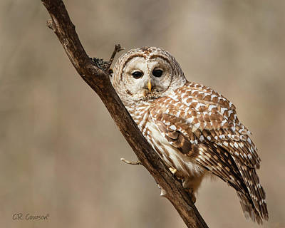 Photograph - Barred Owl by CR Courson