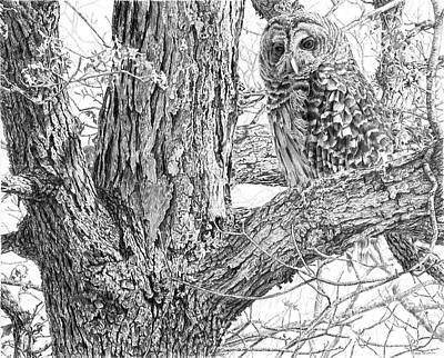 Barred Owl Original by Craig Carlson