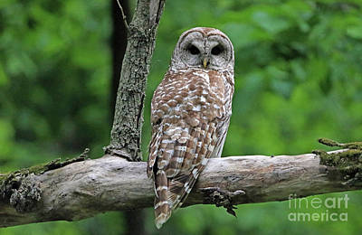 Photograph - Barred Owl by Elizabeth Winter