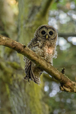 Photograph - Barred Owl Fledgeling by Keith Boone