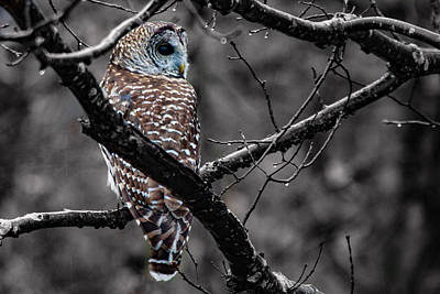 Photograph - Barred Owl Hungry  by Jeff Folger