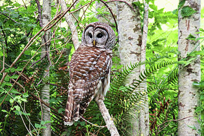 Photograph - Barred Owl Hunting In Alder Forest by Peggy Collins