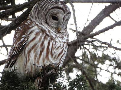 Photograph - Barred Owl Hunting by Rebecca Overton