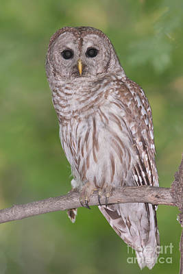 Photograph - Barred Owl II by Clarence Holmes