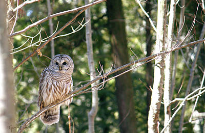 Photograph - Barred Owl II by Nancy  Coelho