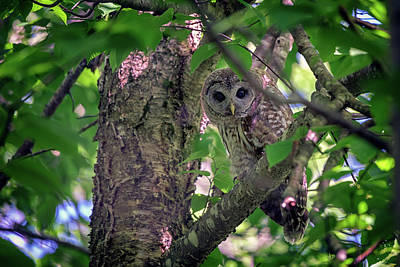 Photograph - Barred Owl In A Tree by Rick Berk