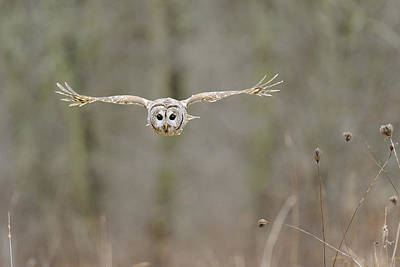 Barred Owl Photograph - Barred Owl In Flight II by Scott  Linstead